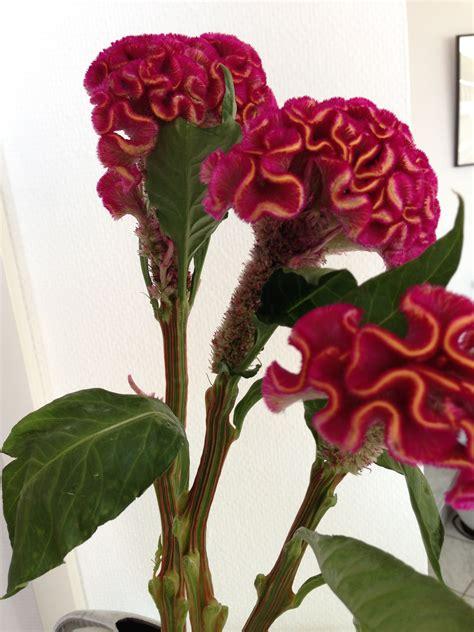 celosia  images poinsettia flower flowers poinsettia