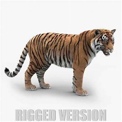 Tiger 3d Fur Rig Rigged Models Main01