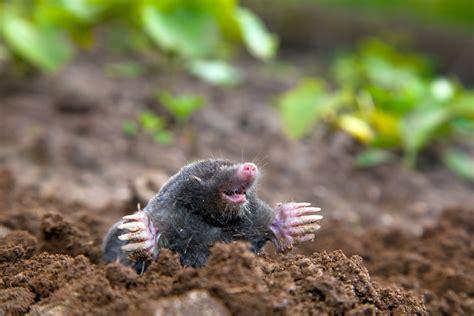 Controlling Moles & Voles With Pest Control