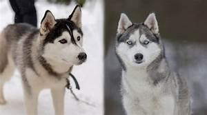 Alaskan Malamute vs. Siberian Husky: What's the Difference?