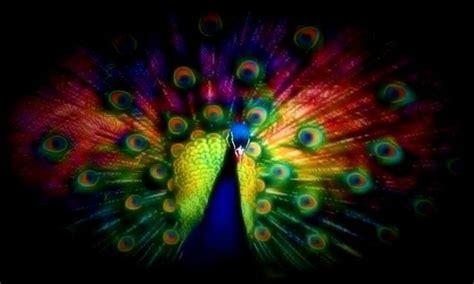 Animated Peacock Wallpapers - peacock background wallpaper wallpapersafari