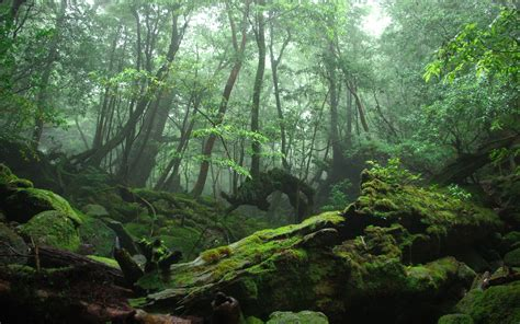 Mossy Rocks In The Forest Wallpaper Wide Picture Fyv21v