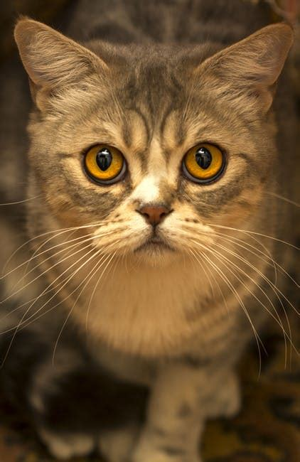 brown tabby cat close  photo  stock photo