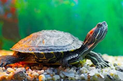 water turtle 6 aquatic pets that aren t fish