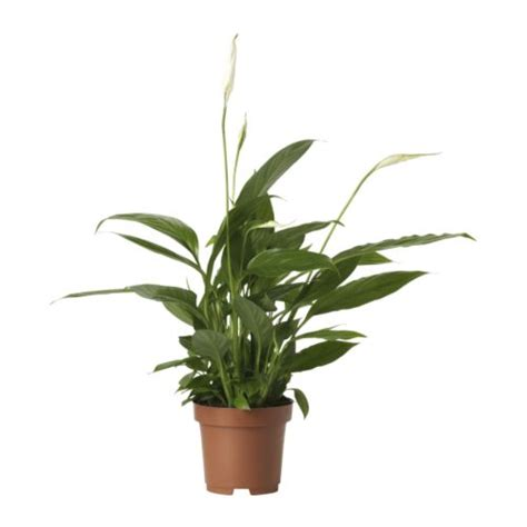 spathiphyllum plante en pot ikea