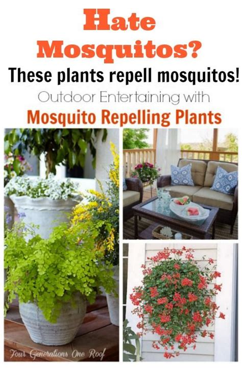pest repellent plants mosquito repelling plants mosquitoes and plants on pinterest