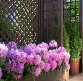 Culture Du Rhododendron En Pot