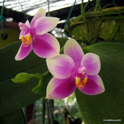 phalaenopsis bloom orchidbliss phal violecea blooming