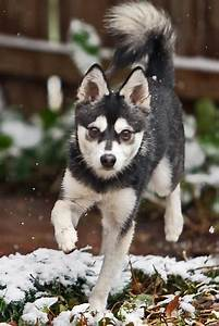Dexter ~ Alaskan Klee Kai | New puppy | Pinterest