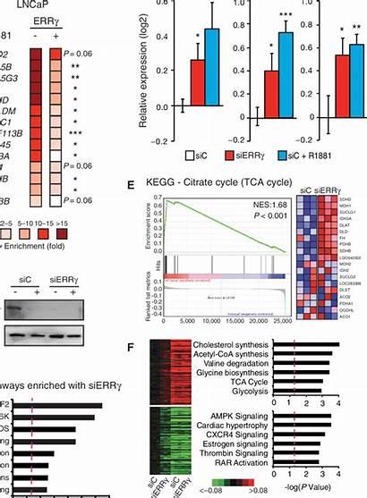 Chip Qpcr Transcriptional Errg Control Gene Metabolic
