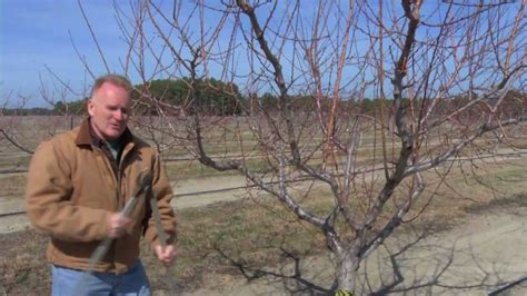 pruning a mature peach tree youtube