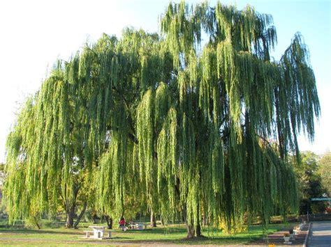 weeping willow tree weeping willow wallpapers wallpaper cave