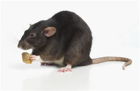 rat cuisine pet rat diet feeding rats rat food
