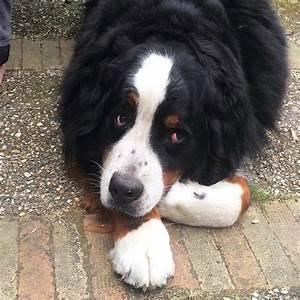 Berner Sennenhund Gewicht : alles over de berner sennenhond lees het bij ~ Markanthonyermac.com Haus und Dekorationen