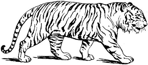 tiger coloring pages animal coloring pages