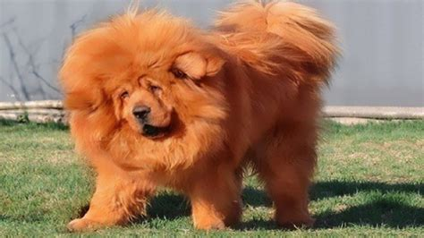 Top 10 Most Expensive Dog Breeds In The World Facts And