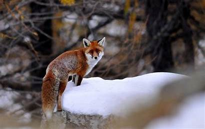 Fox Winter Animals Foxes Forest Animal Nature