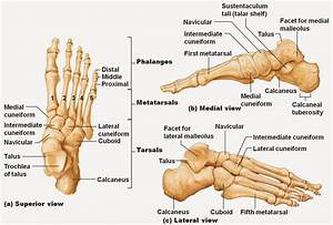 Exam 2 Bones Of The Lower Limb