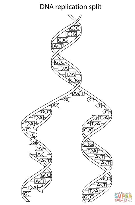 dna replication split coloring page free printable