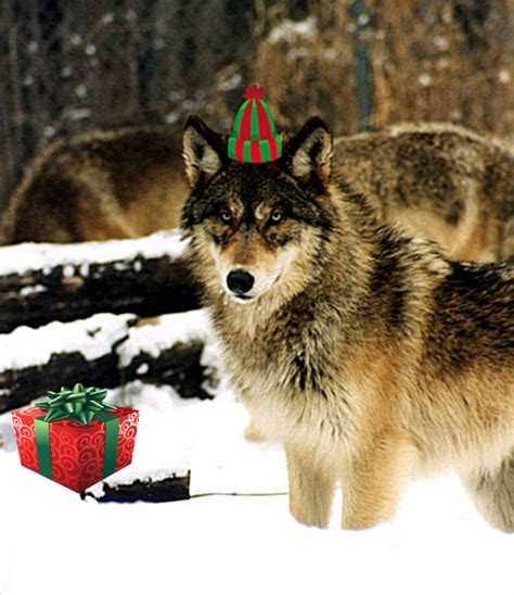 merry christmas wolf warriors howling for justice