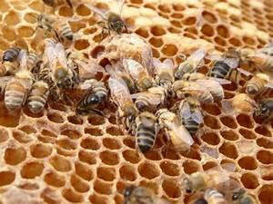 Wie Machen Bienen Honig : die bienen und der honig bee careful ~ Whattoseeinmadrid.com Haus und Dekorationen