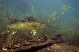 Nice Walleye photo and wallpaper. Cute Nice Walleye pictures