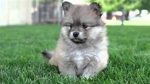 7 Weeks Old Pomsky Puppies So Cute And Energetic  Pomsky Puppies For Sale