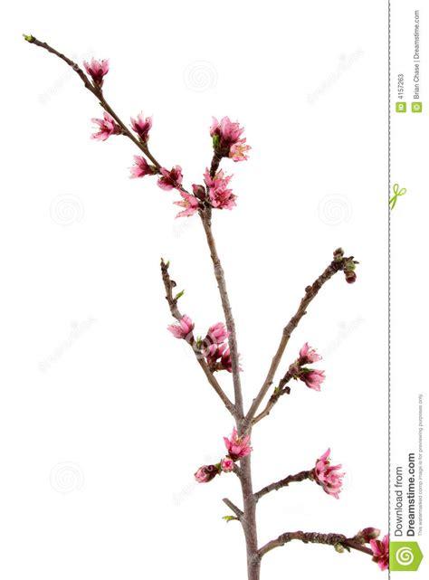 fiore della bellezza fiore della pesca immagine stock immagine di bello