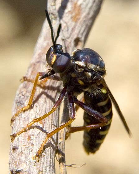 Robber Fly Looks Like A Wasp Or Hornet Ceraturgus