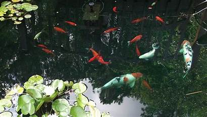 Koi Pond Fish Desktop Wallpapers Backgrounds Moving