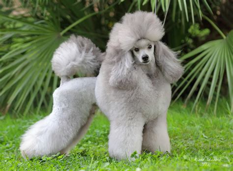 Grey Animal Wallpaper - wallpaper poodle grey grass animals animals 10144