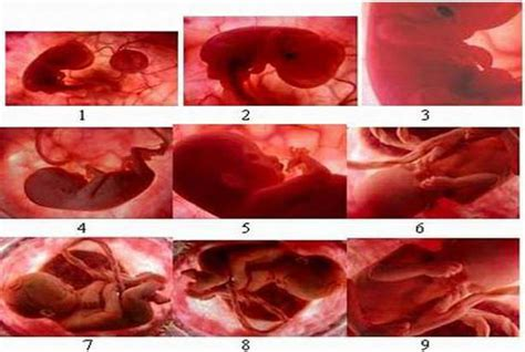 Janin Dalam Rahim Tahapan Bayi Dalam Rahim Selama Masa Kehamilan