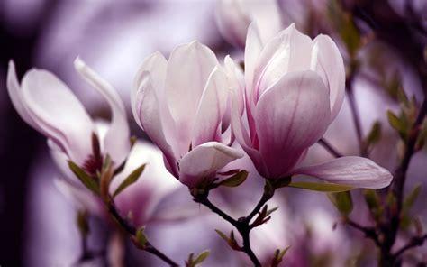 magnolias auntie dogmas garden spot