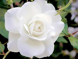 What Do White Roses Mean? - Orchids Plus