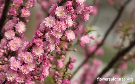 flowering almond prunus glandulosa dwarf flowering almond