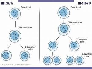 Mitosis Vs  Meiosis Plus Oogenesis Vs  Spermatogenesis