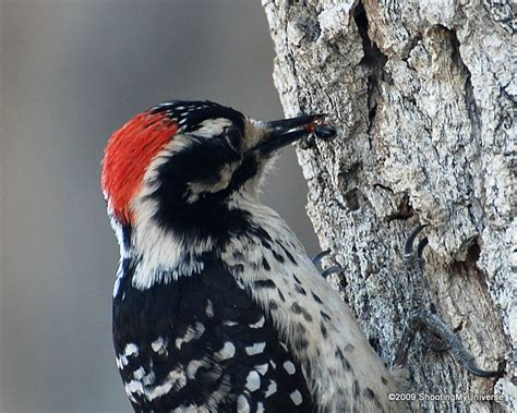 what do baby woodpeckers eat