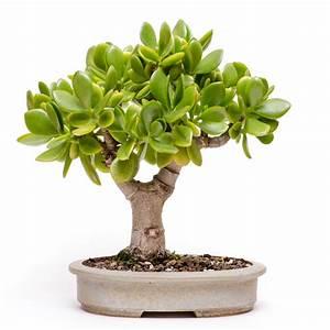 Geldbaum Feng Shui : top 10 zimmer bonsai f r einsteiger ~ Bigdaddyawards.com Haus und Dekorationen