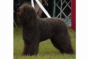 Barbet Puppies for Sale from Reputable Dog Breeders