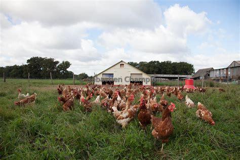 alimentation poules pondeuses en exterieur photographie elevage de poules pondeuses fermieres elevees en plein air agricole