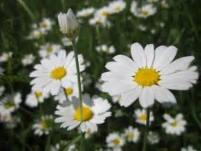 manzanilla la planta medicinal  aromatica de nuestras