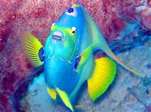 Queen Angelfish Facts And New Pictures All Wildlife