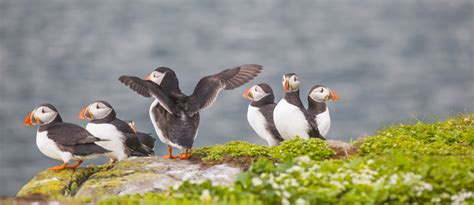 Future Perfect Puffin Patrol On Witless Bay Goethe