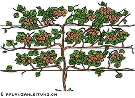 www conseil plantation ch kiwi actinidia chinensis actinidia arguta