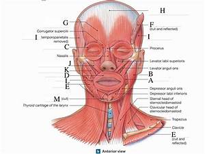 Chapter 11 Muscles  Head