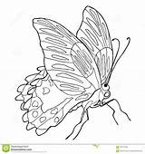 Butterfly Coloring Tropical Rumanzovia Papilio Illustra Side sketch template