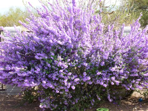 hedge plant with purple flowers this plant has several name depending on where you find yourself in west texas it s called