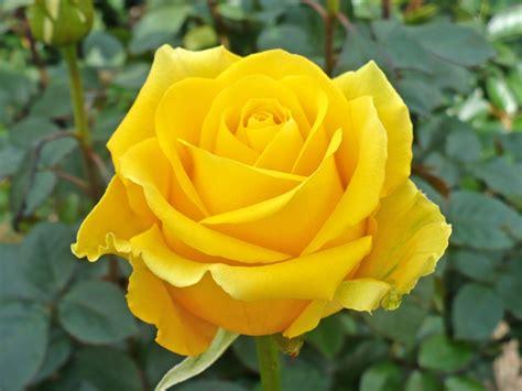 Fantasy Landscape Wallpaper Hd Yellow Roses 29669 1024x768 Px Hdwallsource Com