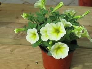 Balkonpflanzen Hängend Pflegeleicht : petunia surfinia gelb pflanzen versand f r die besten ~ Lizthompson.info Haus und Dekorationen