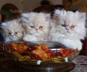 persiani ipertipici vendo gatti bengala posot class